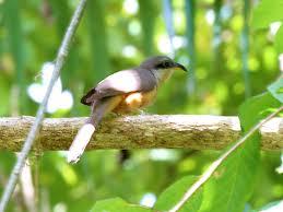 Canopy Birds by Puerto Rican Birds Optics4birding Nature Blog Network