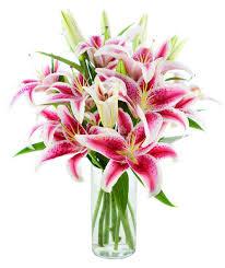 stargazer lilies stargazers