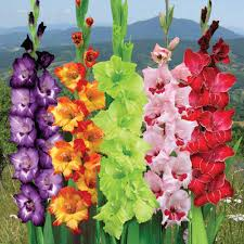 gladiolus flowers how to grow gladiolus the best way out ground report