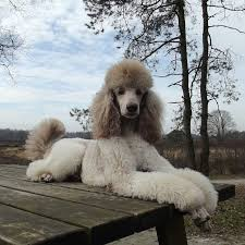 hair styles at the shoodle in animal crossing new leaf 139 best poodle images on pinterest poodles standard poodles