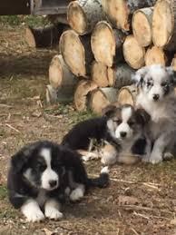 australian shepherd x kelpie border collie kijiji in saskatchewan buy sell u0026 save with