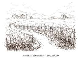 drawn grain corn field pencil and in color drawn grain corn field