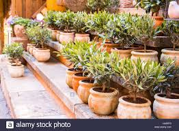 Flower Pot Sale Olive Trees In Terracotta Planting Pots For Sale Flower Shop In