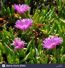 native australian ground cover plants unique succulent coastal plant known as pig face with bright pink