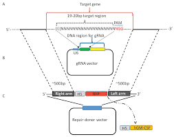 viruses free full text crispr cas9 as a powerful tool for