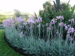 variegated society garlic forms an excellent border plant with