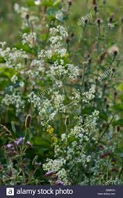 native hedgerow plants hedge bedstraw galium mullugo flower summer wild native white july