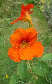 nasturtium flower nasturtium flower essence flower essences flower remedies