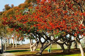 Tree San Diego All Why The Coral Is An International Celebri Tree The