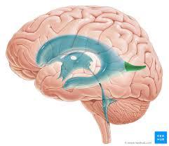 Gross Brain Anatomy Ventricles Of Brain Anatomy And Pathology Kenhub