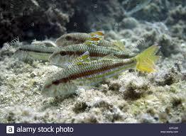 four goatfish spanish mediterranean stock photo royalty free