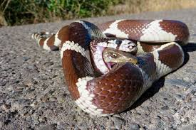 in photos california kingsnake u0027s lizard lunch fights back