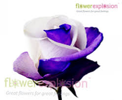 purple roses for sale purple roses for sale buy cheap purple roses flower explosion