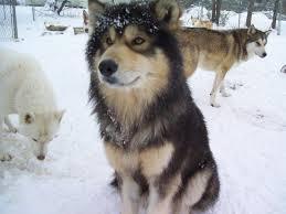 belgian shepherd x alaskan malamute 2016 alaskan malamute dog breed wallpapers info 2017 animal box