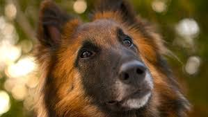 belgian sheepdog canada 5 things to know about belgian tervurens petful