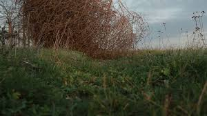 tumbleweed tumbleweed stood still on the grass in a field close up stock