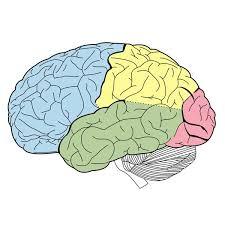 Sheep Brain Anatomy Game Lesson Plan Basic Brain Anatomy For Elementary
