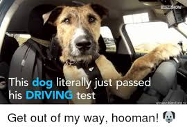 Dog Driving Meme - in the this dog literally just passed his driving test