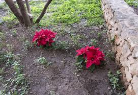 growing poinsettia plants outside tips on planting poinsettias