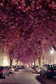 cherry blossom trees in germany pics