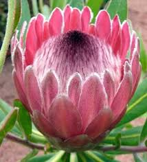 Protea Flower South Africa - protea neriifolia indigenous south african protea 5 seeds