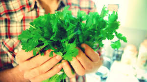 love to cilantro it u0027s in your genes and maybe in your head