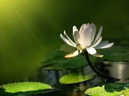 Lotus Flower In Muddy Water - best 25 lotus flower wallpaper ideas on pinterest lotus flowers