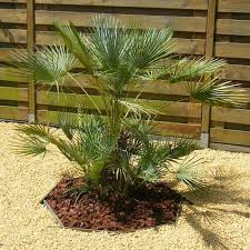 mediterranean fan palm tree mediterranean fan palm seeds chamaerops humilis under the sun seeds