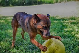 belgian shepherd breeders belgian malinois protection dogs for sale protection dogs for sale
