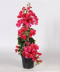 buy a container plant now bougainvillea red bakker com