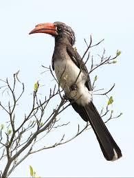 crowned hornbill lophoceros alboterminatus hotspot birding