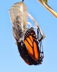 monarch life cycle u2014 14 of 20 the transparent casing of th u2026 flickr