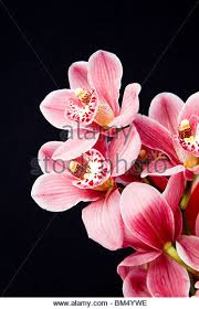 pink orchids pink orchids stock photos pink orchids stock images alamy