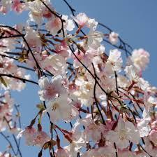 silk cherry blossom branches 58
