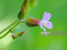 Herb Robert Pictures Getty Images Herb Robert Stock Photo Getty Images