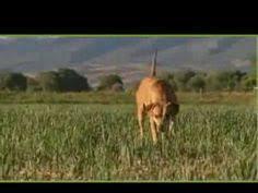afghan hound dogs 101 dogs 101 miniature pinscher youtube min pin love pinterest