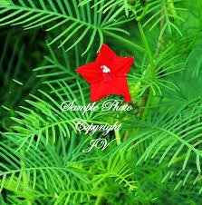 cypress vine 15 seeds tropical trellis gardening annual all zones