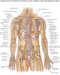 Physiology Videos Nervous System In Humans Human Physiology U2013 Structure And Function