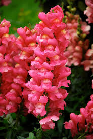 snapdragon flowers snapdragon plants flowers and tree garden