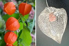 japanese lantern plant creepy plants for your garden s tooth hydnellum
