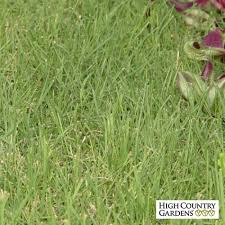 prestige buffalo grass plugs sustainable lawns high country