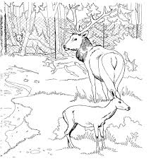 amazing gallery of realistic deer coloring pages with deer