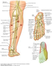 Dermatomes Map Focal Neuropathies Of The Lower Extremities Radiculopathies