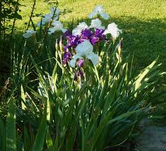 in a vase on monday iris in bloom forest garden