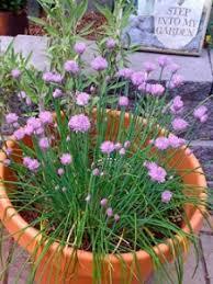 erba cipollina in vaso come coltivare erba cipollina vaso e orto avr祺 cura di te