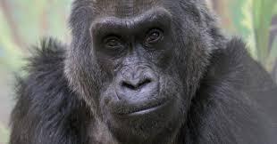 Gorilla by Colo World U0027s Oldest Known Gorilla Dies At 60 Huffpost