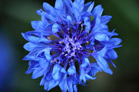 blue flower grasshopper flowers free nature pictures by