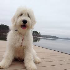 doodle doo labradoodles 203 best doodles images on beautiful and dogs