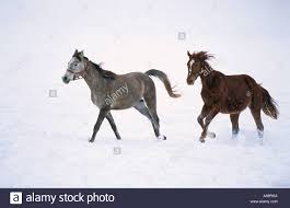mustang horse running two horses running stock photos u0026 two horses running stock images
