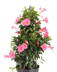 Mandevilla Plant Diseases - tropic escape hibiscus and mandevilla costa farms